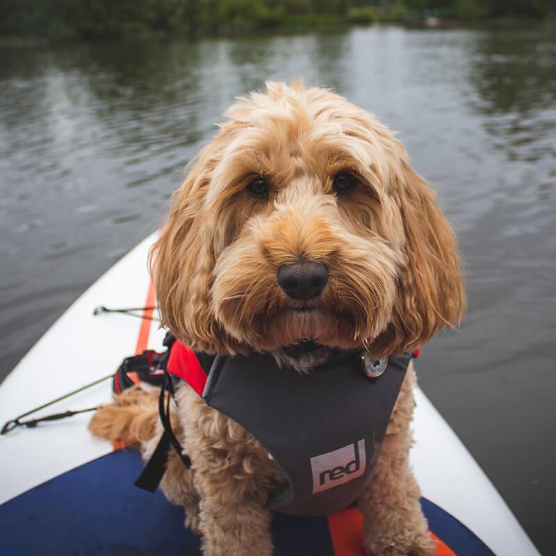Reggie on Gladiator paddleboard